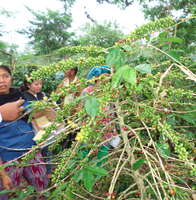 Food Security and Improving Coffee Production