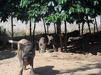 Raising indigenous pigs